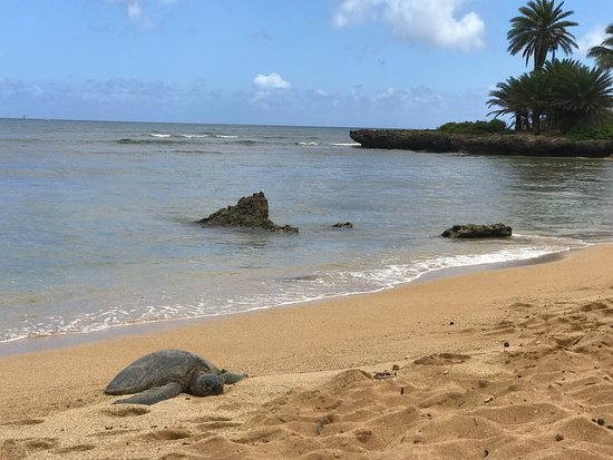 Hali`a Tours and Transportation LLC: Napping Sea Turtle on the North Shore of O`ahu.