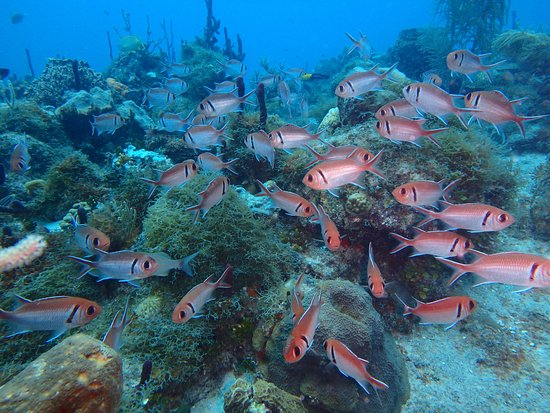 Scubafun: Large school of black bar soldierfish on reef dive.