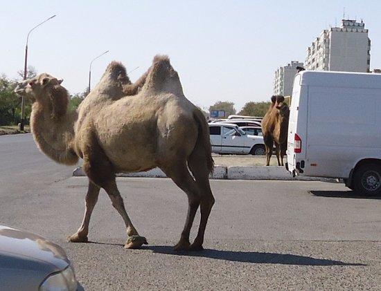Baikonur, Kasakhstan: Верблюды на улице