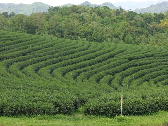 Choui Fong Tea Plantation: IMG_20180515_133819_large.jpg