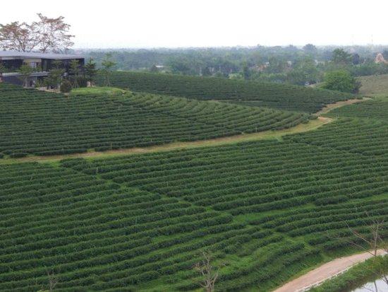 Choui Fong Tea Plantation: IMG_20180515_140504_large.jpg
