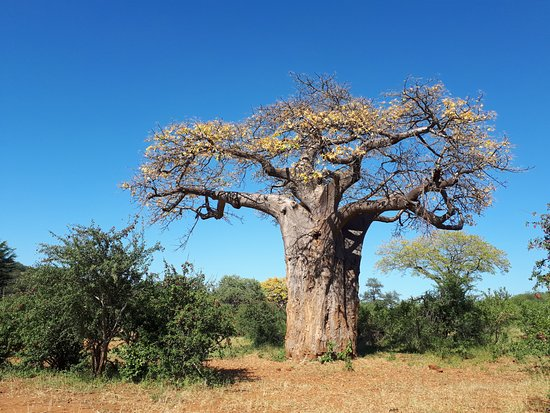 Makuya Nature Reserve: The majestic Baobab tree.