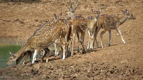 Sri Wild Yala Safari: spotted dears