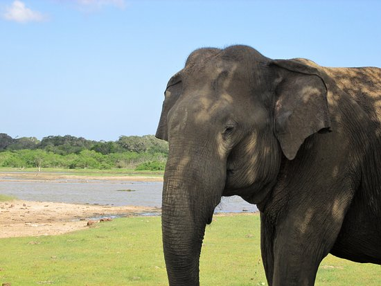 Tissamaharama, Sri Lanka: asian elephant