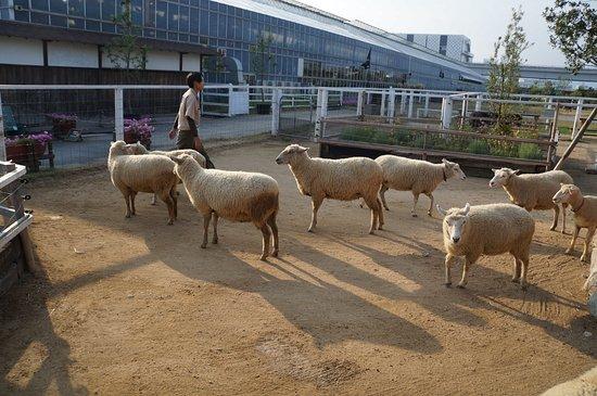 Kobe, Japan: 羊ケ丘には羊に餌やり体験