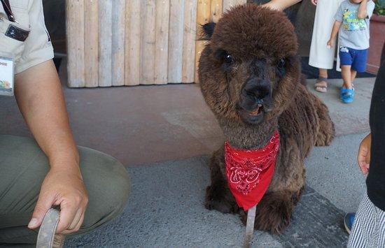Kobe, Japan: 閉園間際にアルパカがお見送りをしてくれました。