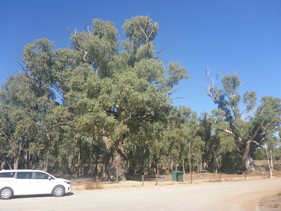 Giant Red Gum Tree