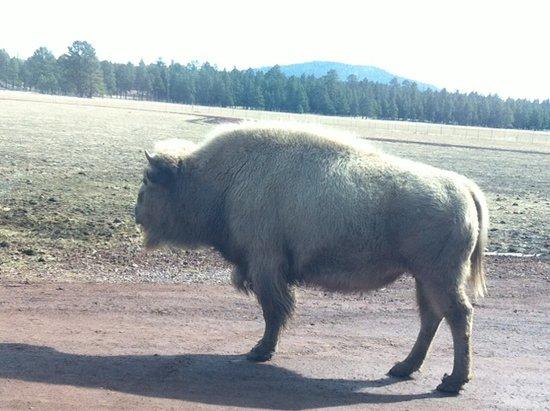 Williams, AZ: White Bison