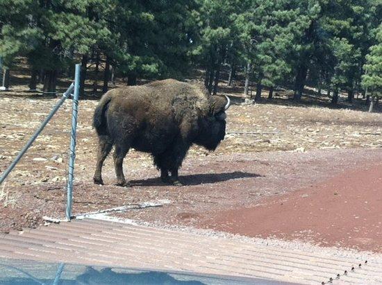Williams, AZ: American Bison