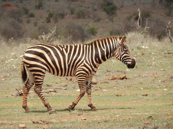 Safari in Kenya Con Samba: Tsavo East