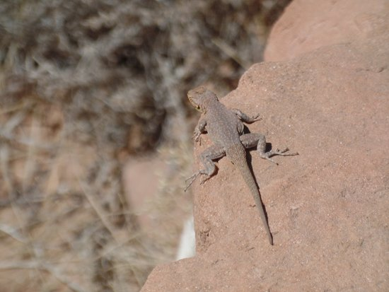 Colorado National Monument: Lizard hanging out on some rocks