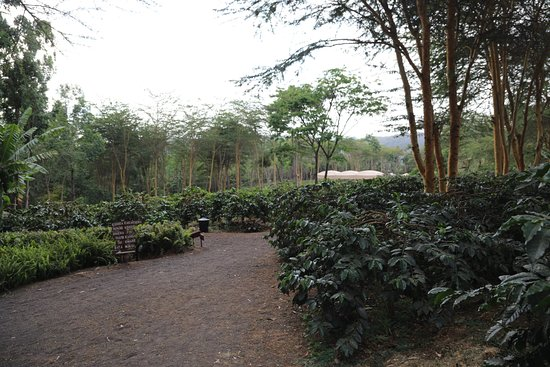 Tloma Mountain Lodge, Tanganyika Wilderness Camps: coffee plants