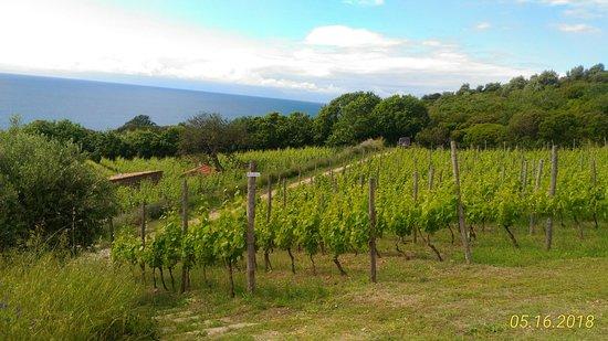 Tours & Transfers: Wine tasting Tour in Castellabate:Vineyards