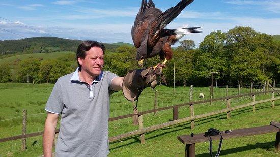 Machynlleth, UK: Bay Winged ( Harris's ) Hawk