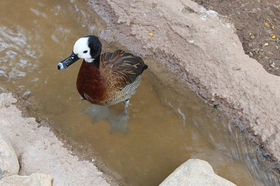 Litchfield Park, AZ: and ducks