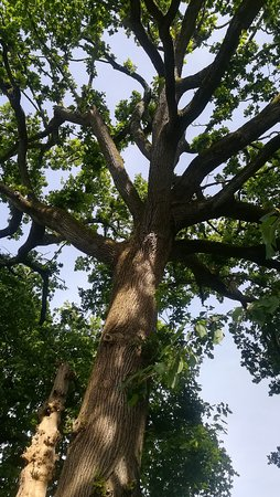 Barenton, Francia: An ancient and magnificent specimen of an oak-tree in the orchard, one of the lovely features of