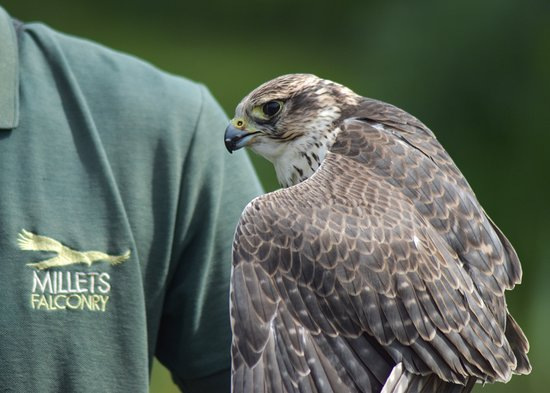 Millets Farm Falconry Centre: Expert handling