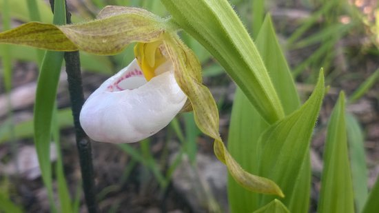 Resthaven Wildlife Area: Close up of lady slipper bloom