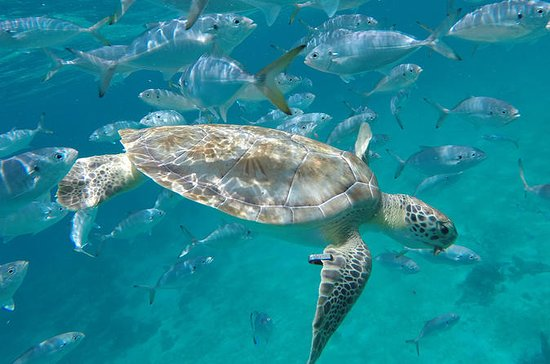 Barbados Glass Bottom Boat Turtle...
