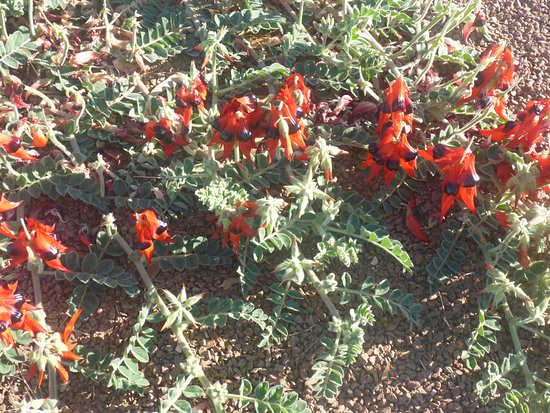 Wudinna, Australia: Sturt Pea Close Up