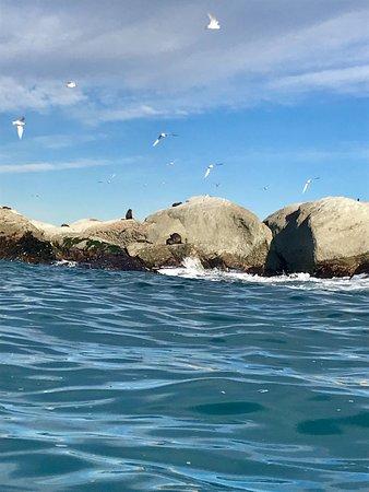 Kaikoura, Nueva Zelanda: NZ fur seals