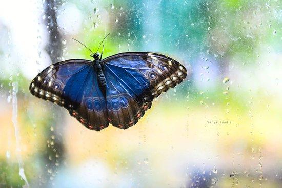 San Giovanni la Punta, Włochy: Blu morpho farfalla