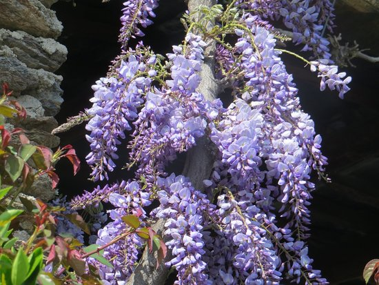 Portugos, สเปน: Wisteria, flowering April and May