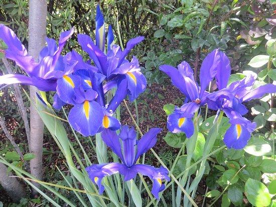 Portugos, إسبانيا: Iris holandicum, flowering in May