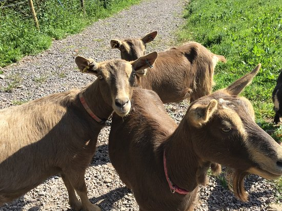 Waterrow, UK: The friendly Goats