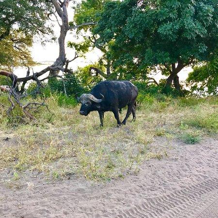 Chobe National Park張圖片