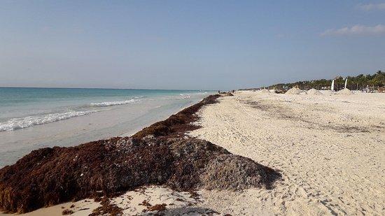 Allegro Playacar: Algas en playa del carmen.