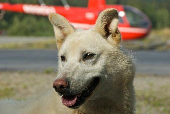 Alpine Air Alaska: sled dogs