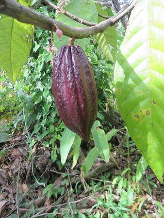Osa Peninsula, Costa Rica: Cocoa bean