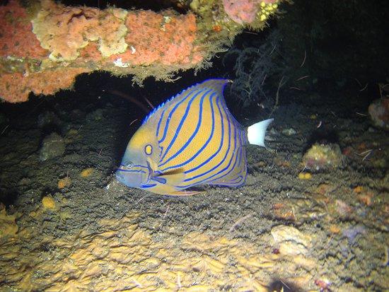 Abyss Dive Center Bali: poisson-ange