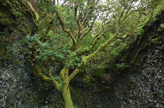 Garoé árbol santo