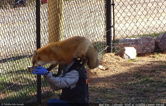 Divide, CO: Red fox