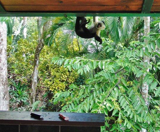 Cabo Matapalo, Costa Rica: capuchin monkey