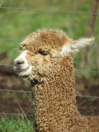 Gordonton, Новая Зеландия: Soft and friendly Alpacas!