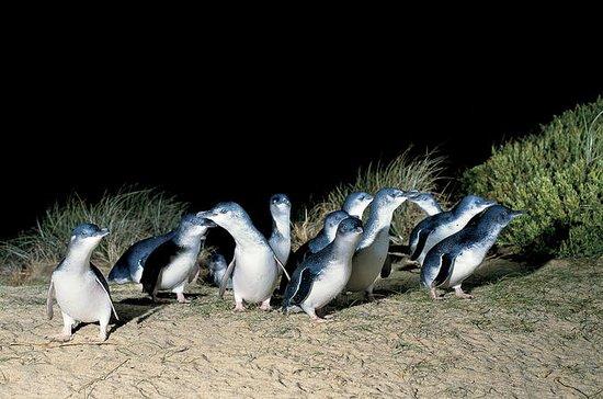 Pingviner går og dyreliv i naturen