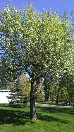 Prince George, Kanada: Beautiful tree in full bloom.