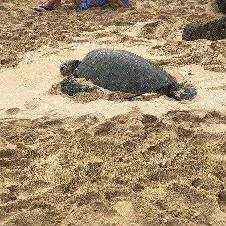 Laniakea Beach: They are here!