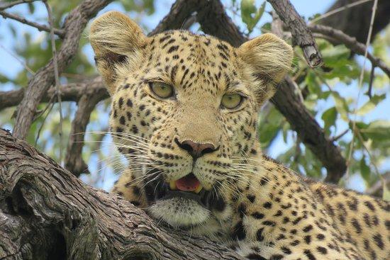 Kwando Concession NG14, บอตสวานา: Leopard