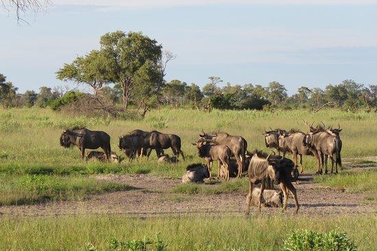 Kwando Concession NG14, บอตสวานา: Wildebeest