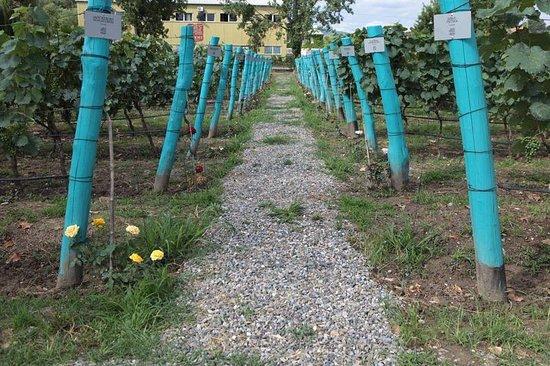 Kakheti Region, جورجيا: Vineyards