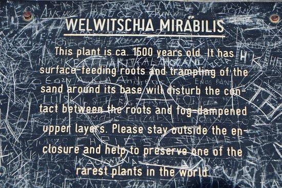 Welwitschia Plains: Welwitschia Mirabilis
