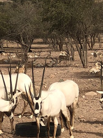 Sir Bani Yas Island, United Arab Emirates: Safari