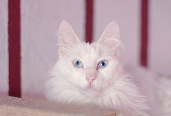 Bolshe  Shersti!: Роскошный ангроский кот Габриэлль!