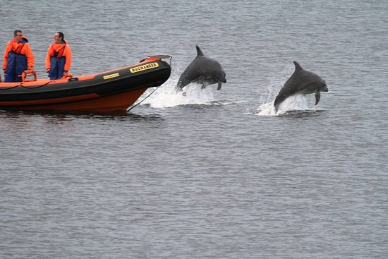 Lossiemouth, UK : Bow riding Dolphins