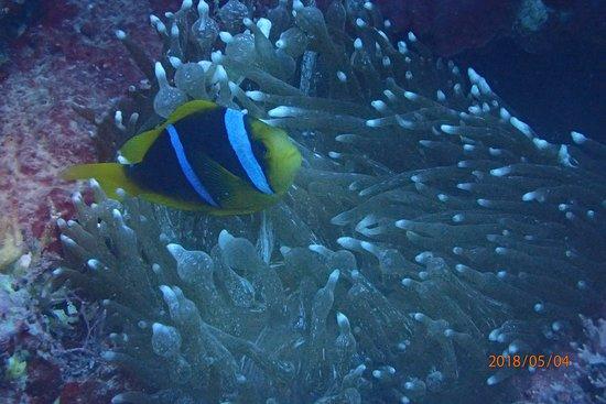 giant clam picture of samoadive snorkel apia tripadvisor