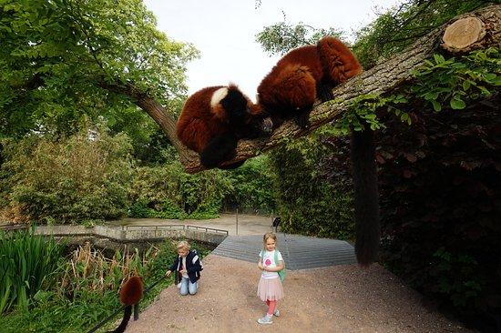 ARTIS Amsterdam Royal Zoo: Red ruffed